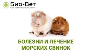 Болезни и лечение морских свинок. Ветеринарная клиника Био-Вет.