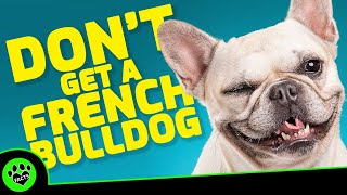 5 Reasons Not To Get A French Bulldog  Dogs 101
