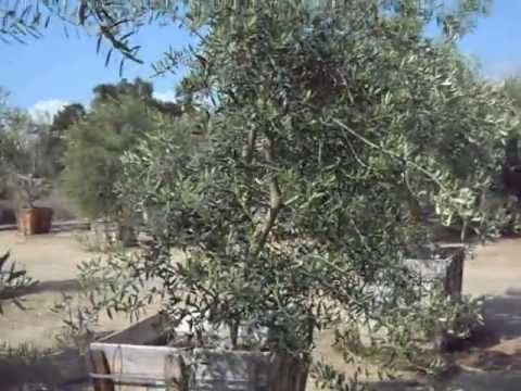 Swan Hill Fruitless Olive Wilsonii Fruitlerss Trees In 36 Bo