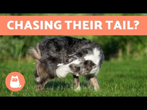 why-is-my-dog-chasing-and-biting-their-tail?
