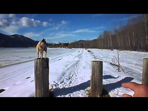 Best Trick - Australian Cattle Dogs at Christina Lake BC