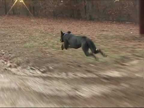 great dane running fast at 30 mph 48 kph with slow motion section youtube. Black Bedroom Furniture Sets. Home Design Ideas