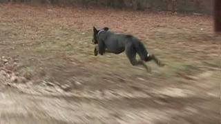 Great Dane Running Fast at 30 mph (48 kph) with slow motion section