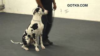 Great Dane Dog Training On A Leash By Got K9 In Las Vegas Nevada