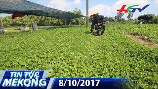 Kiếm tiền tỷ nhờ trồng rau má | TIN TỨC MEKONG - 8/10/2017