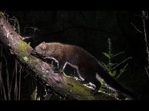 Photographing Wild Fisher With A Motion Tripped Camera