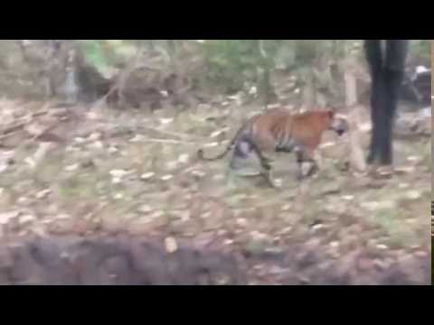 Tiger spotted at sabarimala (Dec 2016)
