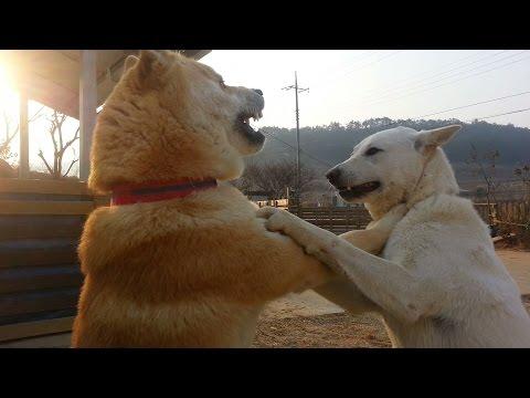 [59] 외동딸 때문에 다투다 멱살잡고 말싸움 하는 진돗개 부부 / Dog couple fighting holding the neck