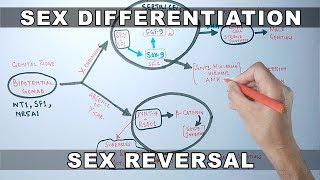 Sex Differentiation | Molecular Mechanism