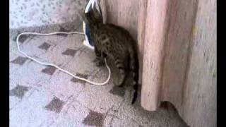 Бенгальский котёнок, 3 месяца