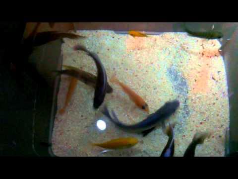 African Cichlids - Salt Dip (Using Salt For Parasites)