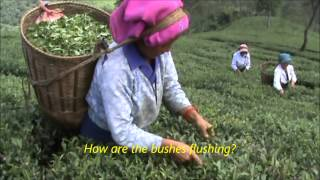 At a Darjeeling Tea estate with Happy Earth Tea