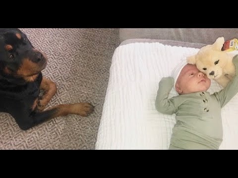 Rottweiler buys crying baby a toy |57
