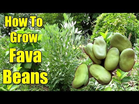How To Grow Fava Beans | All You Need To Know!