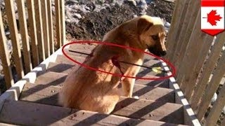 Собака выжила после ранения стрелой