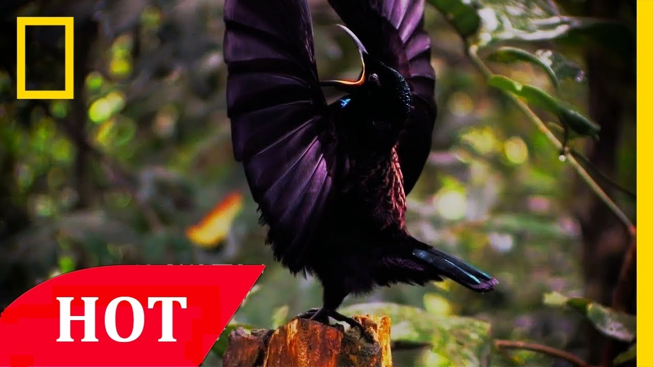 National Geographic Unkown Species of Birds Of Paradise Nat Geo Documentary  HD