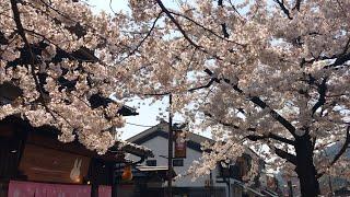 2019年4月6日 土 桜見頃の京都 嵐山の様子☆ Arashiyama Kyoto Cherry blossom trees☆ 岚山