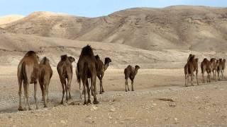 Camels In the Desert Version R