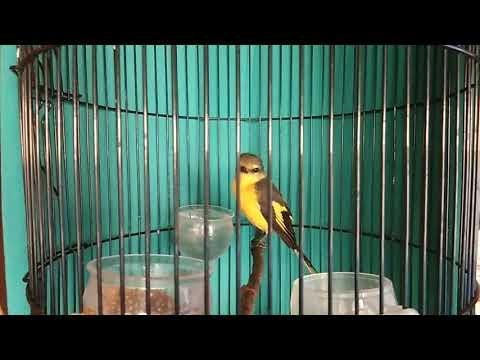 Full Download] Masteran Handal Burung Mantenan Betina Gacor
