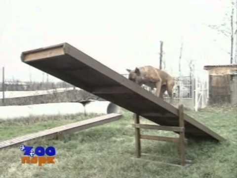 Немецкий боксер собака, описание породы, характер, фото