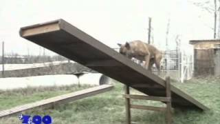 О породе собак - Боксер