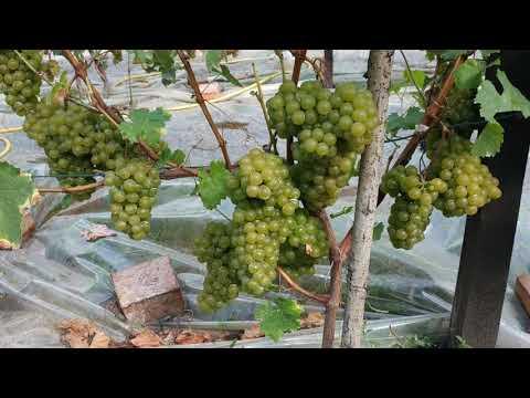 Цитронный Магарача, средний цитронно-мускатный сорт винограда