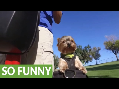 Charlee the Yorkie loves her Segway time