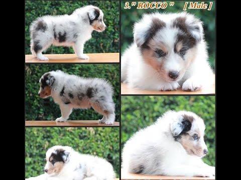 Perfect Pedigree Thailand's Shetland Sheepdog puppies for sale