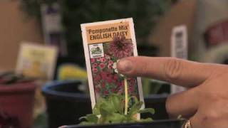 Flower Gardening Tips : How to Grow English Daisy (Bellis Perennis)