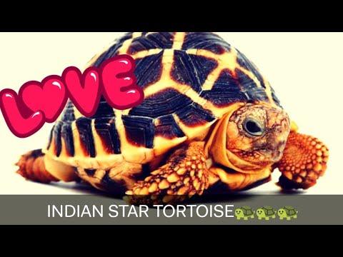 INDIAN STAR TORTOISE🐢🐢🐢