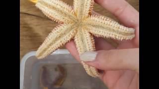 Canlı Deniz Yıldızı