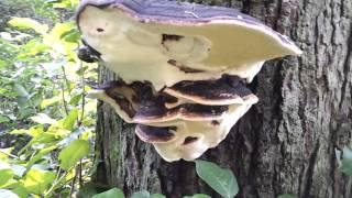 灵芝本是野生种