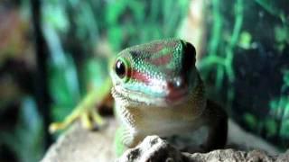 Strange gecko noises