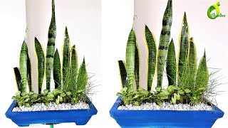 snake  plant propagation & decoration/sansevieria cylindrica /ORGANIC GARDEN
