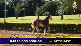 TV COUNTRY - JÚPITER DOS SONHOS - CLYDESDALE - HARAS DOS SONHOS.