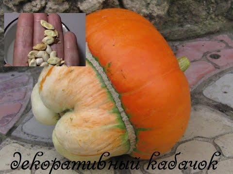 Семена кабачков декоративных  Как подготовить к посадке