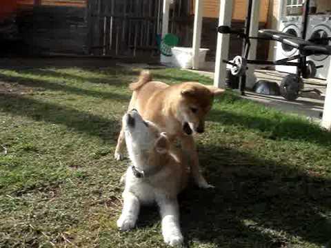 A Akita Dog japanese akita inu vs ...