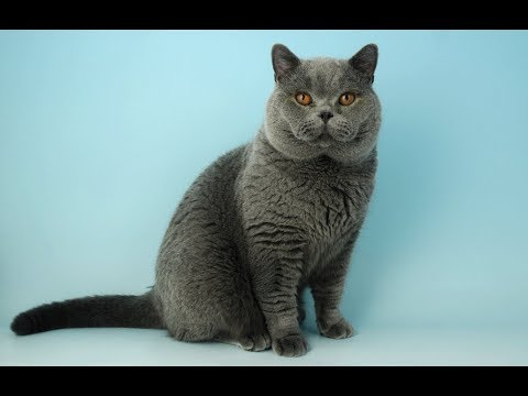 10 Largest Cat Breeds In The World