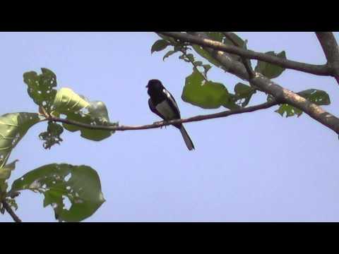 Oriental Magpie Robin singing....