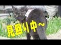 見回り中に黒白猫ちゃんと遭遇 Patrol cat
