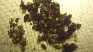 Dendrodrilus rubidus 400 коконов 04.02.2014.