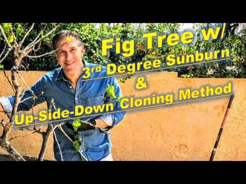 Fig Tree w/ 3rd Degree Sun Burns     Up-Side-Down Cutting Method @ La Cañada, California