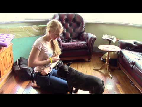 Part 1 Train my French Bulldog Clicker Training | Dog Training Tutorials