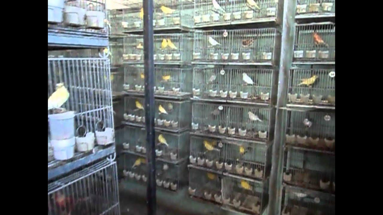 Criadero de canarios roller mapache argentina youtube for Como hacer un criadero de cachamas