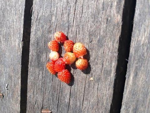 Где искать ягоду?! Ищем Землянику!