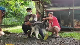 siberian husky and pomeranian stud session👉👌💦 #BAHOGKAMOT