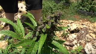 Another Jamaican Ganja Field 2017