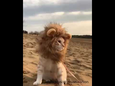 Funny cat with lion mane costume walking in desert