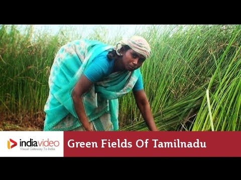Mat grass farming in Tamilnadu