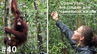 Орангутан: не создан для семейной жизни // Всё как у зверей #40(В развитых странах новый тренд - синглы, одиночки. Семьи не заводят, живут в свое удовольствие. Социологи..., 2015-06-02T21:12:11.000Z)